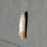 0126 – Coptotriche citrinipennella