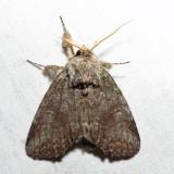 7994 – Saddled Prominent – Heterocampa guttivitta
