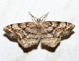 6654 – One-spotted Variant – Hypagyrtis unipunctata