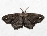 6654 – One-spotted Variant – Hypagyrtis unipunctata (melanistic)