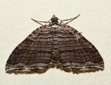 7330 - Many-lined Carpet - Anticlea multiferata