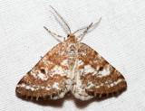 6637 - Pine Powder Moth - Eufidonia convergaria (male)