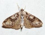 5226 - Splendid Palpita - Palpita magniferalis