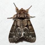 9182 - Eastern Panthea - Panthea furcilla (melanistic)