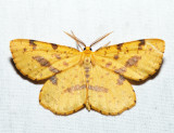 6740 - False Crocus Geometer - Xanthotype urticaria (male)