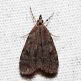 4717 - Dark-brown Scoparia - Scoparia penumbralis