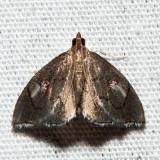 4951 - Peripasta caeculalis