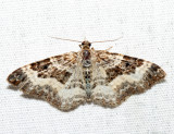 7394 – White-banded Toothed Carpet – Epirrhoe alternata