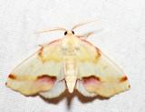 6840 - Lemon Plagodis - Plagodis serinaria