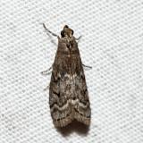 5926 – Elm Leaftier – Canarsia ulmiarrosorella