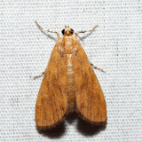 4751 – Waterlily Borer – Elophila gyralis