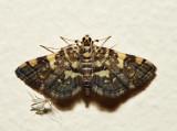 5177 - Checkered Apogeshna - Apogeshna stenialis