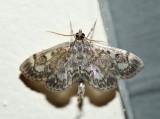 4953 - Crowned Phlyctaenia - Phlyctaenia coronata