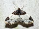 7307 - White-ribboned Carpet - Mesoleuca ruficillata