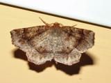 6822 - Ruddy Metarranthis - Metarranthis duaria (male)