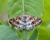 6639 – Sharp-lined Powder Moth – Eufidonia discospilata