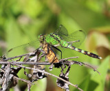 6436 - Cranberry Spanworm Moth - Ematurga amitaria (being eaten by an Eastern Pondhawk)