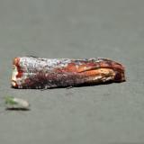 3500 - Inimical Borer - Pseudogalleria inimicella