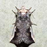7951 - White-headed Prominent - Symmerista albifrons