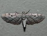 7526 - Eupithecia russeliata (female)