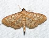 5275 – Bold-feathered Grass Moth – Herpetogramma pertextalis