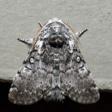 9185 – Closebanded Yellowhorn – Colocasia propinquilinea