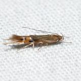 1496 – Fernald's Cosmopterix Moth – Cosmopterix fernaldella