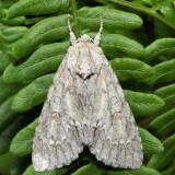 9200 – American Dagger Moth – Acronicta americana