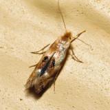 0560 – Birch Skeletonizer Moth – Bucculatrix canadensisella