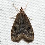 4717 – Dark-brown Scoparia – Scoparia penumbralis