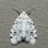 8098 - Small White Lichen Moth - Clemensia albata