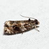 2821 – Serviceberry Leafroller – Olethreutes appendiceum