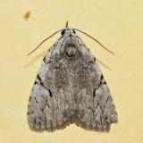 9662 – Many-dotted Appleworm Moth – Balsa malana
