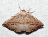6806 – Tacparia atropunctata