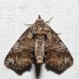 8959 - Pygmy Paectes - Paectes pygmaea