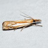 5362 – Double-banded Grass-veneer Moth – Crambus agitatellus