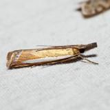 5357 – Leach's Grass-veneer Moth – Crambus leachellus