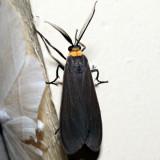 8267 - Yellow-collared Scape Moth - Cisseps fulvicollis