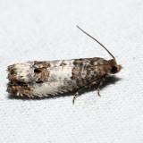 2906 – Eye-spotted Bud Moth – Spilonota ocellana