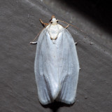 3624 - White-spotted Leafroller - Argyrotaenia alisellana