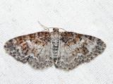 7422 – Unadorned Carpet – Hydrelia inornata (female)