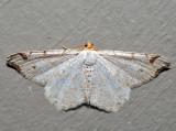 6326 – Common Angle – Macaria aemulataria