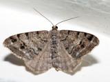 6348 – Hemlock Angle – Macaria fissinotata