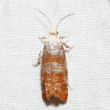 2889 - Pitch Twig Moth - Retinia comstockiana