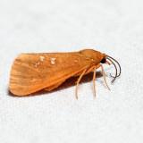 8121 – Orange Holomelina – Virbia aurantiaca