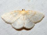 6815 - Gueneria similaria (male)