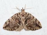 7235 - Black-Dashed Hydriomena - Hydriomena divisaria (female)