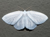 6253 - Northern Eudeilinia - Eudeilinea herminiata (male)