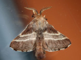 7701 - Eastern Tent Caterpillar Moth - Malacosoma americana
