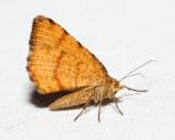6286 - Speranza brunneata  (female)
